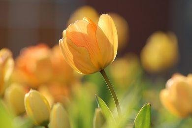 tulip-690320_960_720
